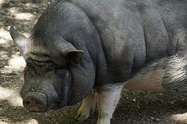 pot-bellied-pig-793590__180