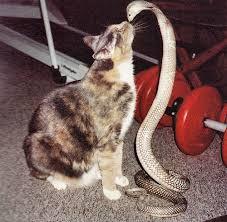 cat cobra